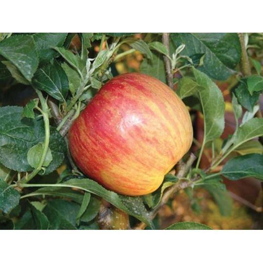 Jabloň FUJI, zimné, 130-160cm