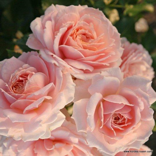 CREMOSA® ruža mnohokvetá, KORDES, kont. 2l