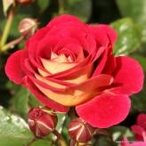 DIE SEHENSWERTE® mnohokvetá ruža, KORDES, kont. 2l