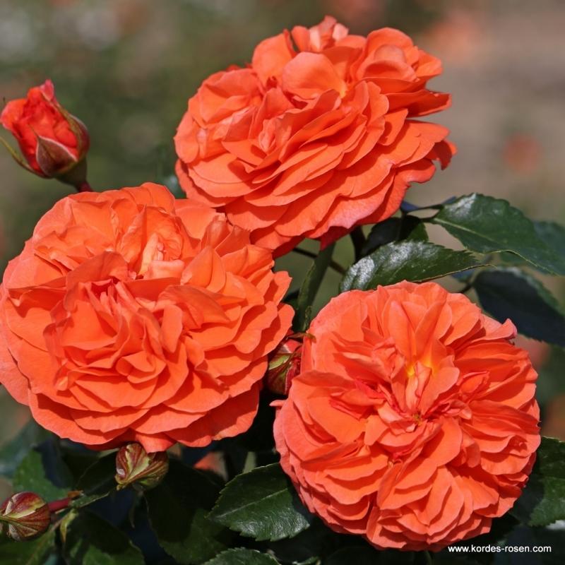 ORANGERIE ruža mnohokvetá, KORDES, kont. 2l