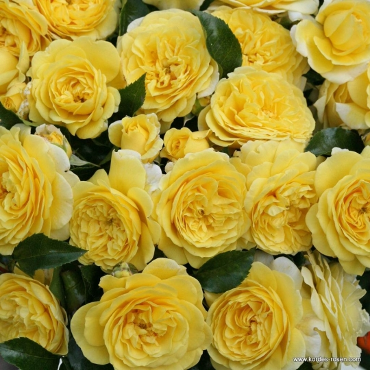 SOLERO® ruža mnohokvetá, KORDES, kont. 2l