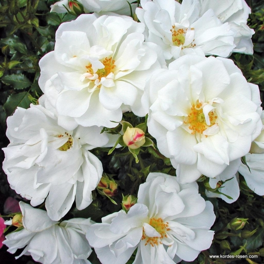 DIAMANT® ruža pôdopokryvná, na kmienku, kont. 7,5l