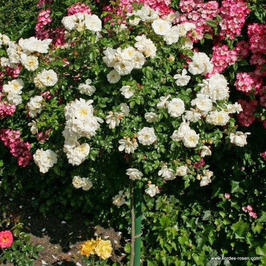 DIAMANT® ruža pôdopokryvná, KORDES, kont. 2l