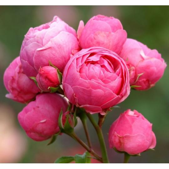 POMPONELLA, ruža mnohokvetá KORDES, kont. 2l
