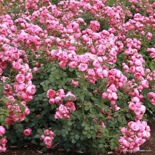 POMPONELLA ruža stromčeková mnohokvetá, kont. 7,5l