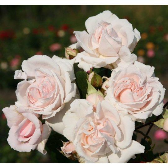CONSTANZE MOZART, ruža mnohokvetá na kmeni, kont. 7l