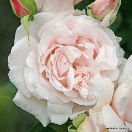 CONSTANZE MOZART, ruža mnohokvetá KORDES, kont. 2l