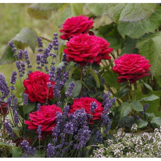 GRÄFIN DIANA, ruža veľkokvetá na kmeni, kont. 7,5l