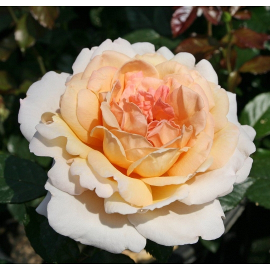 Großherzogin Luise ruža veľkokvetá, na kmeni, kont. 7,5l