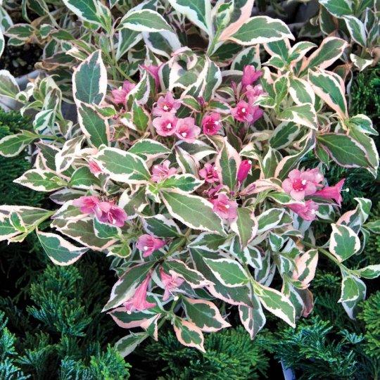 Vajgela kvetnatá 'VERWEIG MONET' 15-20cm, kont. 2,5l