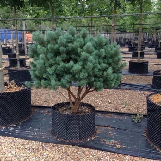 Pinus Sylvestris 'WATERERI' 20-30cm, kont. 7,5l