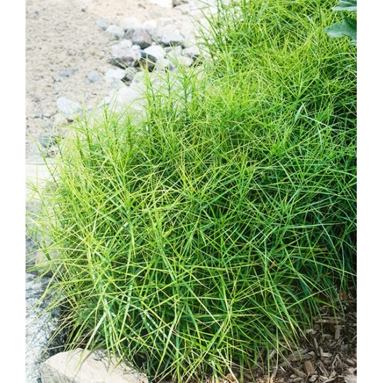 Ostrica Carex muskingumensis _LITTLE MIDGE_, 0,5l