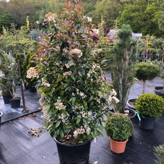 PHOTINIA RED ROBIN 150/160 C35