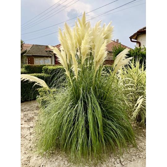 Pampová tráva - biela, kont. 0,5l