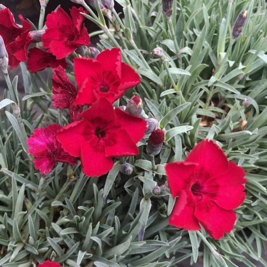 Dianthus RUBIN, kont. 1l