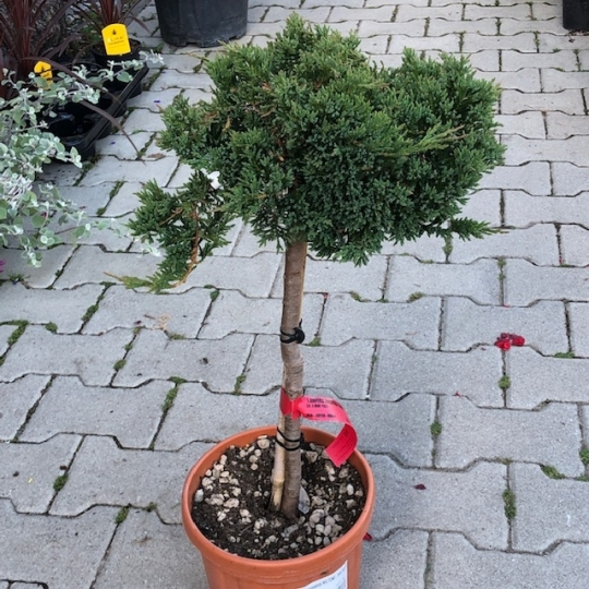 Borievka rozprestretá´Wiltonii´,Juniperus horizontalis´Wiltonii´,kont.5l