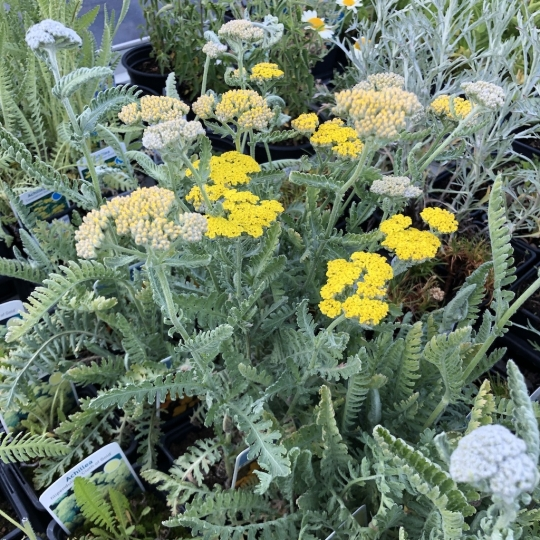 Achillea LITTLE MOONSHINE, kont. 1l