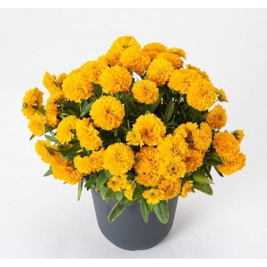 Krásnoočko veľkokveté SOLENA® COMPACT, kont. 0,5Lit.