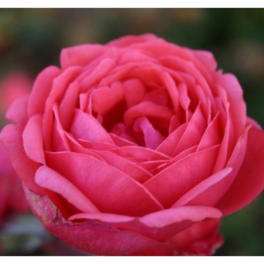 GARTENPRINZESSIN MARIE- JOSÉ, ruža mnohokvetá PARFUMA, kont. 7,5Lit.