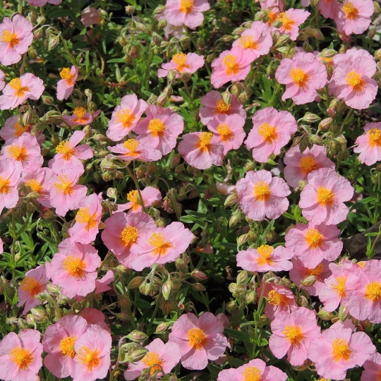 Helianthemum _Lawrensons Pink_, kont. 0,5Lit.