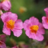 Helianthemum _Lawrensons Pink_, kont. 0,5Lit.