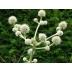 Eryngium eburneum (syn. E. bromelifolium), kont. 1Lit.