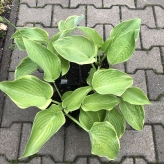 Hosta UNCHAINED MELODY, kont. 1,5l