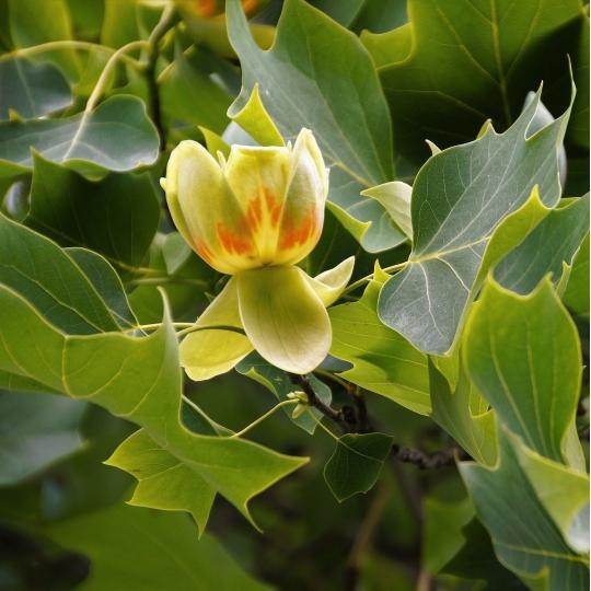 Tulipánový strom, Liriodendron tulipifera, kont.65l