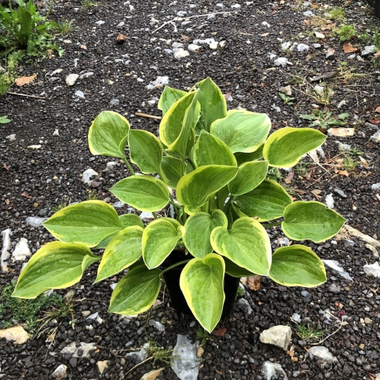 Hosta GOLDEN TIARA,kont. 1l
