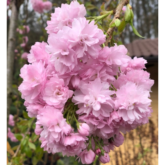 Čerešňa pílkatá ´Kiku - Shidare Sakura´, Prunus serrulata ´Kiku - Shidare Sakura´, 200-220cm