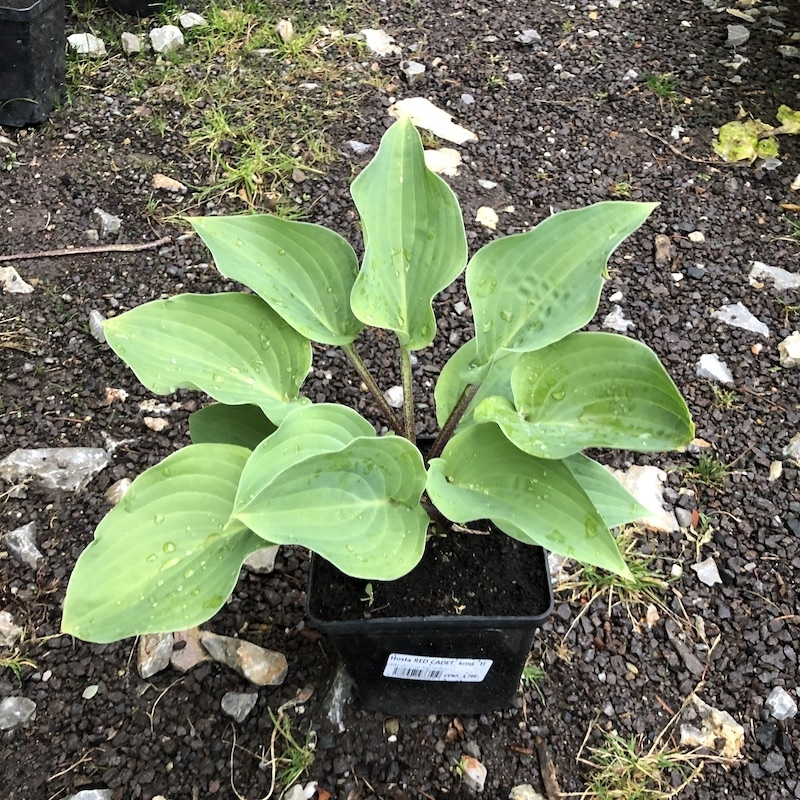 Hosta RED CADET