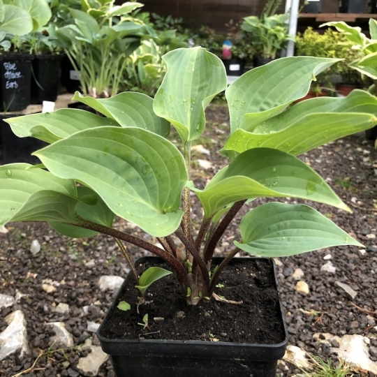 Hosta RED CADET, kont. 1l
