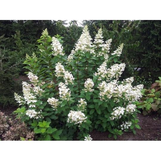 Hortenzia metlinata, Hydrangea paniculata 'Pee Wee', 9 X 9     15 - 20 cm