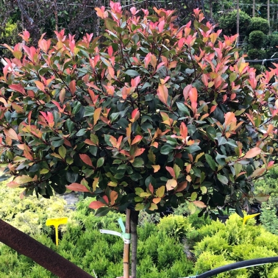 PHOTINIA LITTLE RED ROBIN NANA EXTRA 1/2F C25