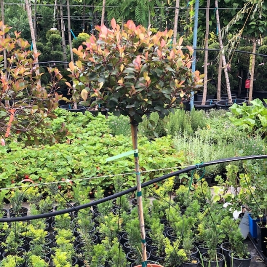 PHOTINIA LITTLE RED ROBIN NANA 1/2F