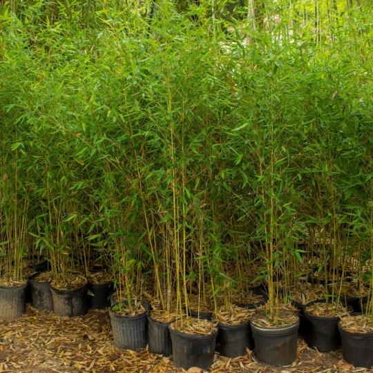 Bambus zlatistý, kont. 9L