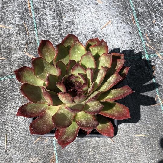 Skalná ruža červená, kont. K9
