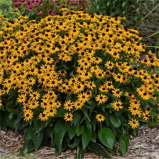 RUDBECKIA LITTLE GOLD STAR, kont. 1l