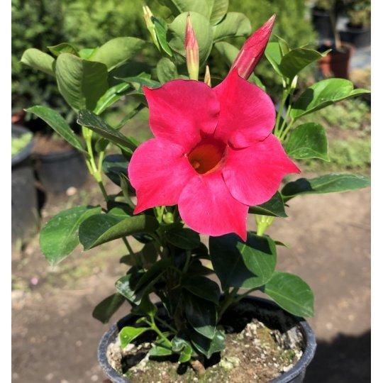 Mandevilla ružová PINK, kont. 0,5l