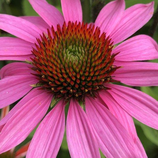 Echinacea FEELING PINK, kont 1l