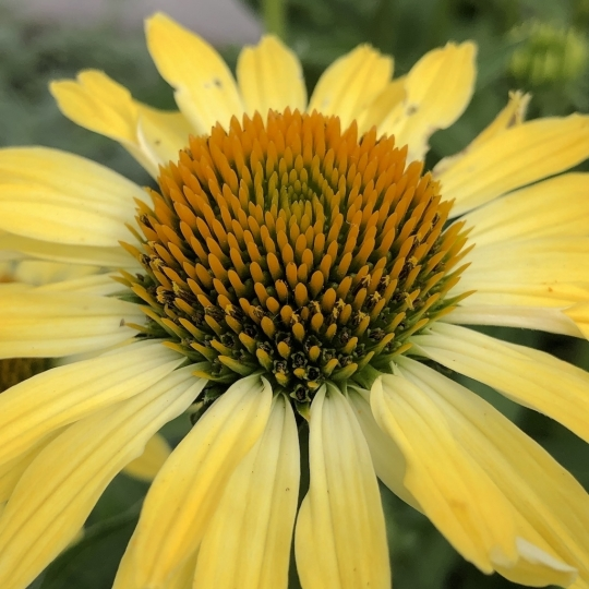 Echinacea 'CLEOPATRA', kont. 1l
