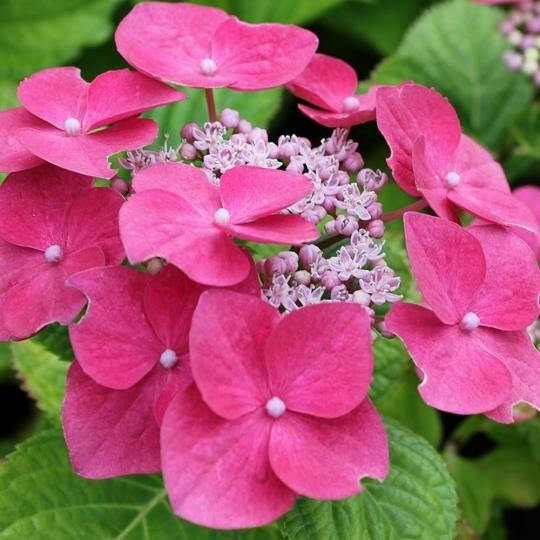 Hortenzia velkolista, Hydrangea macr. 'Teller Pink', 9 X 9     10 - 15 cm