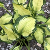 Hosta HOSTA DIFFERENT, stredná 40 cm, 1,5L