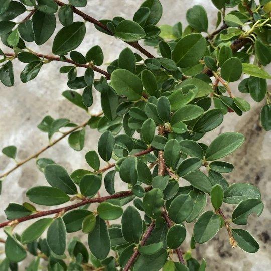 Skalník dammerov´ Coral Beauty´, Cotoneaster dammeri´Coral Beauty´ kont.10l