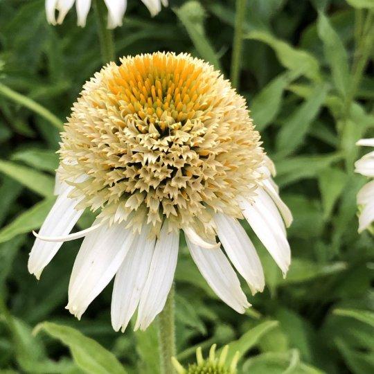 Echinacea 'PAPALLO SEMI-DOUBLE WHITE', kont. 1Lit.