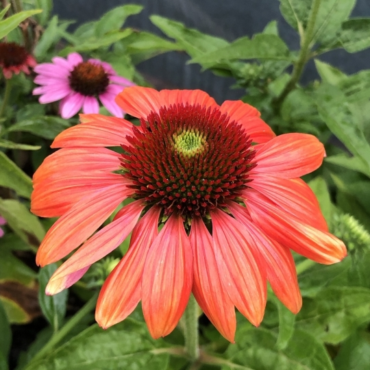 Echinacea purpurea PAPALLO CLASSIC ORANGE-ROSE, kont. 1l