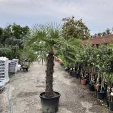Mrazuvzdorná palma, Chamaerops excelsa, kvetináč 50l