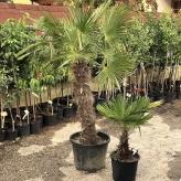Palma himalájska, kont. 45L