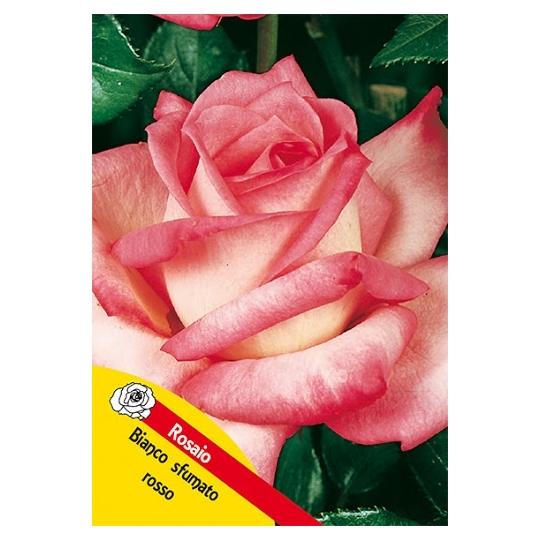 Ruža na kmienku, RUŽOVO - BIELA, kvetináč 10l
