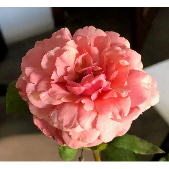 Ruža na kmienku, KRÉMOVÁ RUŽOVÁ, kvetináč 10l